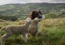 Kuzu ve Köpek