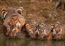 Let&discovery Animal&worlds.How the tigers drink water
