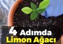 Limon çekirdeğinden evde limon ağacı yetiştiriyoruz