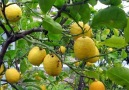 Limon Kemoterapiden bin kat daha etkili