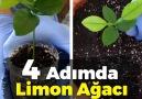 Limonun çekirdeğinden mis kokulu limon ağacı yetiştiriyoruz