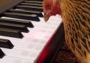 ListeList Hayvansever - Piyano Çalan Akıllı Tavuk Facebook