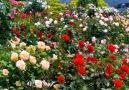 Little Beauty - Super gorgeous rose kingdom! Facebook