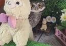 Little owl hiding behind an alpaca