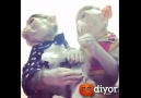 Lolipop yiyen sevimli maymunlar