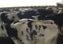 londra da 1 besi çiftliği