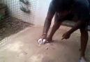 Lotton pigeon rolling video