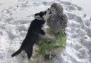 Love is owl you need.Snowy owl Nusha and husky Ilona