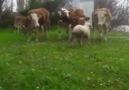 Maho Ağanın koyunu