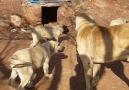 Malakli ve anadolu çoban köpeği üretimi çiftliği ERdi Duldadere