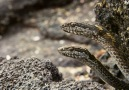Marine Iguanas fight for their lives