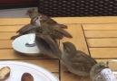 Masada kuşlar )