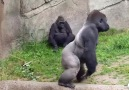 Maymunlar mı terbiyesiz yoksa insanlar mı!!