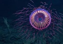 Meet the Halitrephes jellyfish half jellyfish half firework..