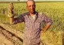Mehmet Şaka - Sedir yılanı yakaladı yine