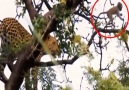Me - Spectacular chasing and catching prey of the leopard on the tree. Facebook