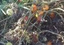 Mevsim sonu domatesler... - Gürkan Ovalıoğlu