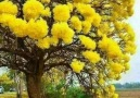 Mimoza Ağaçları