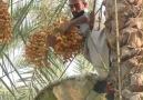 Mısırda hurma hasadı mevsimi