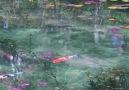 Monet&gölü - Seki - Japonya
