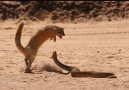 Mongoose hunts Cobra on the road.