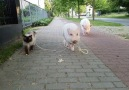 Moritz the pig takes his pal for a walk!(Video youtube.comusereberkopf)