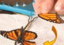Mundo Animales - Le dimos a una mariposa una nueva ala Mundo Animales