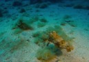 Mürekkep Balığı Yengeç Avında