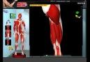Muscle&Motion - Anatomy