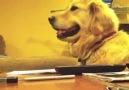 Müziğe Eşlik Eden Golden :)