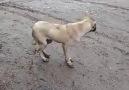 Müziği duyar duymaz halay çeken sokak köpeği )