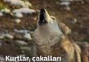 Newsner Türk - Kurtlar bakın her şeyi nasıl değiştirdi Facebook