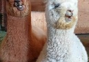 NTD Television - Alpaca Relaxing While Chewing