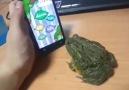 Oha kurbağa değil pitbull
