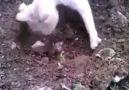 Ölen yavrusunu defneden kedi..
