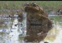 Ölümcül Dev Kara Kurbağası