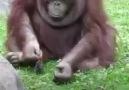 oranguntán salva a una pajarito