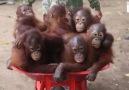 Orangutans Go To School