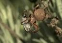 Örümceğin Arı Avı