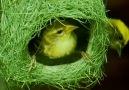 Outdoor Kingdom - How Birds Build Beautiful Nest Facebook