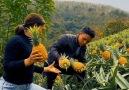 Outdoor Kingdom - Super Gorgeous Pineapple Garden!!! Facebook