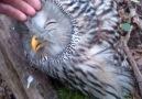Owl loves petting