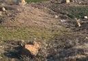 Oymaağaç köyü çakalları Bozkurtu görünce kaçtılar