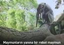 Oyuncak maymunu ölü sanan maymunlar bakın ne yapıyorlar....