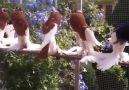 Paçalı Güvercinler