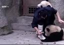 Pandalar Aşı Olmak İstemiyor.