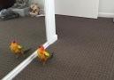 Parakeet Dancing in Mirror