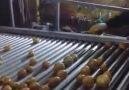 Patates Yikama ve Paketleme Fabrikasi