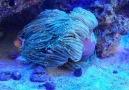 Perfect symbiosis amphiprion ocellaris