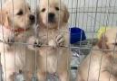 Petworld Magusa - Satılık Golden Retriever Yavruları....